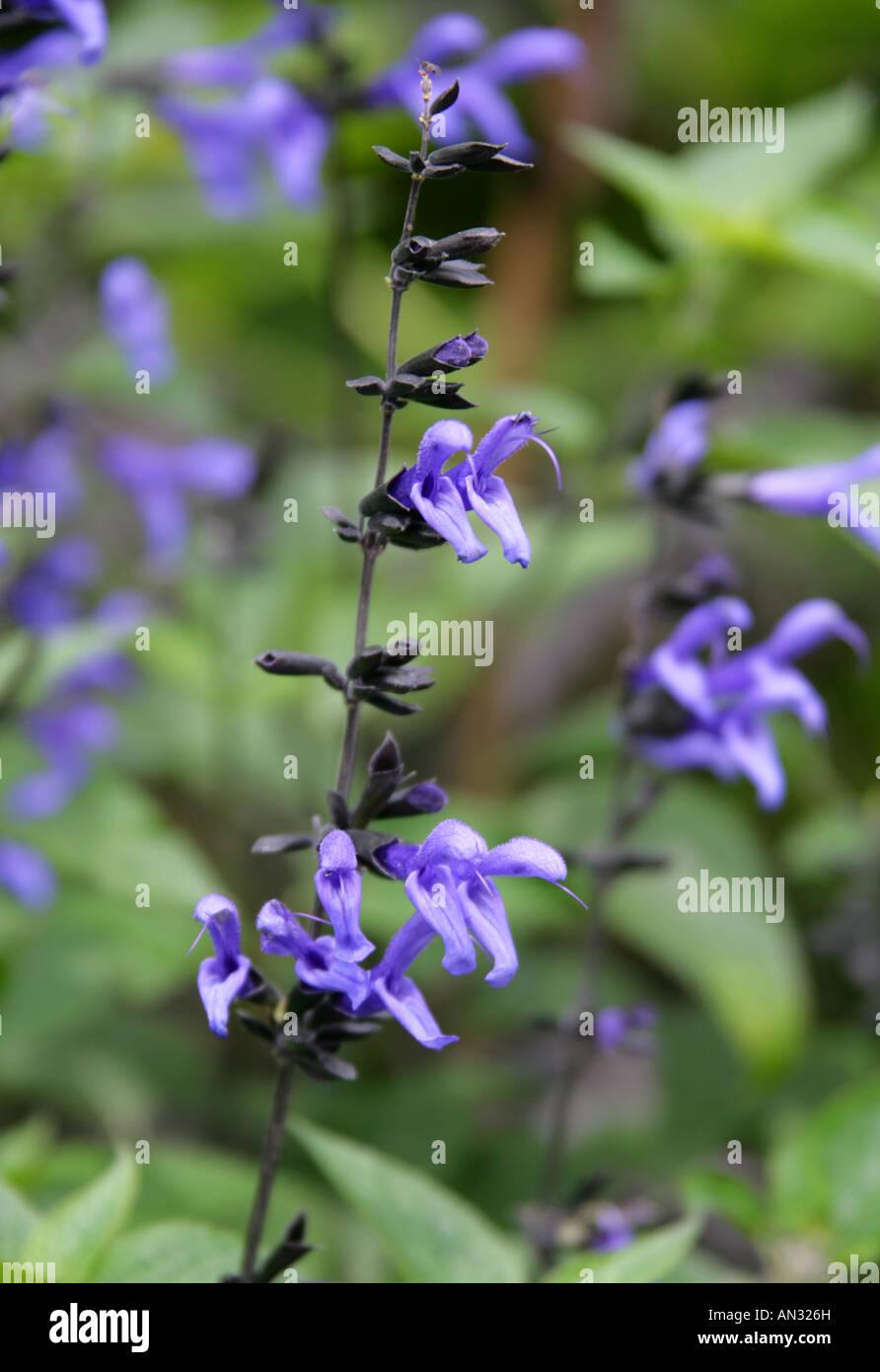 Blue Anise Sage aka Brazilian Sage Hummingbird Sage Anise Scented Sage or Giant Blue Sage Salvia guaranitica Indigo Stock Photo