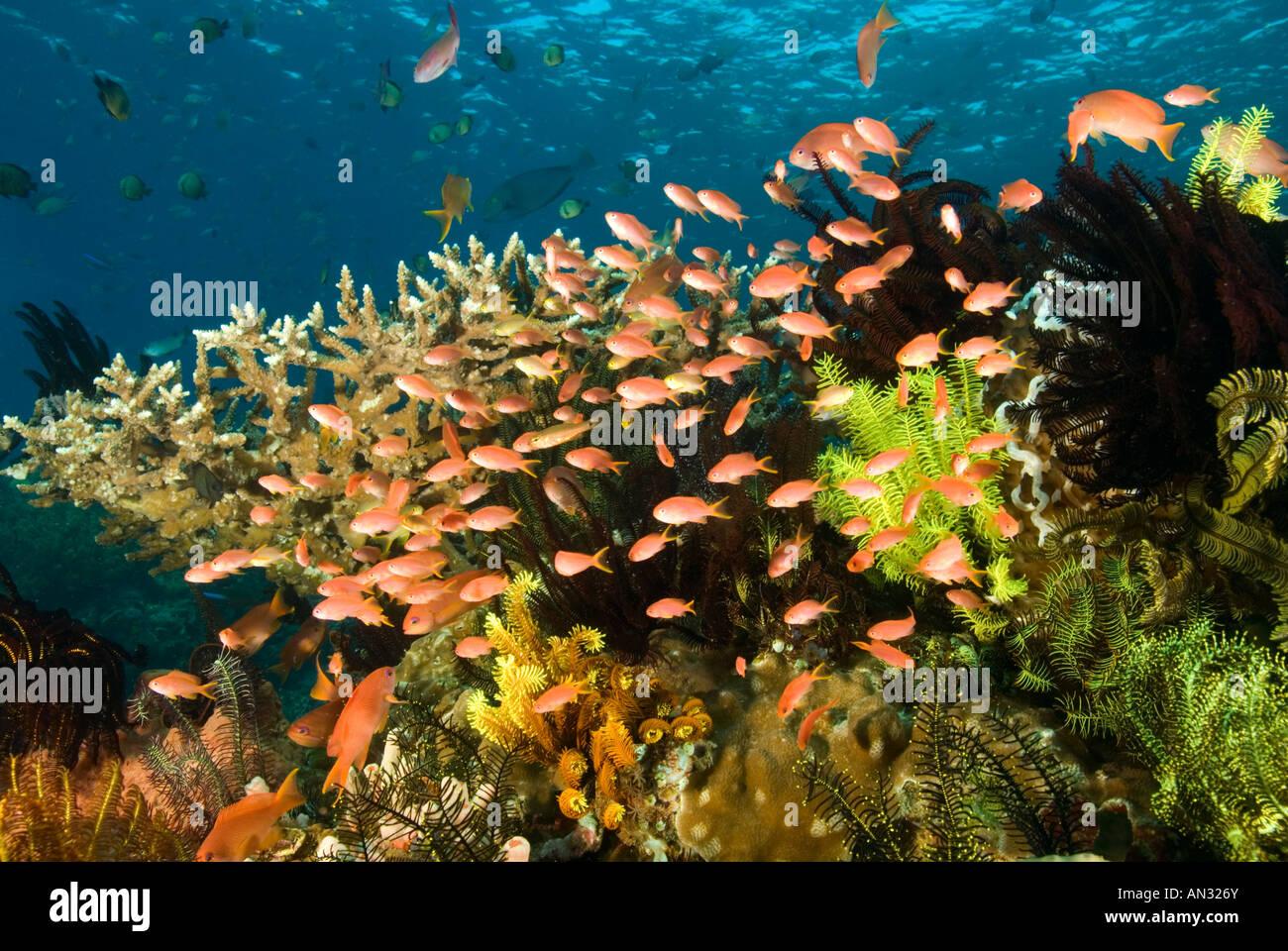 Reef scenic with scalefin anthiases Pseudanthias squamipinnis Komodo National Park Indonesia - Stock Image