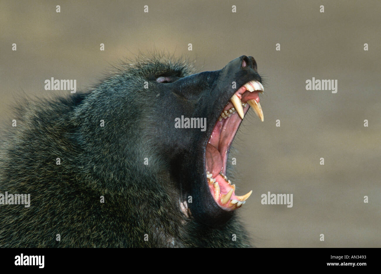 Chacma baboon Papio ursinus Male shows teeth in aggressive posture Southern Africa - Stock Image