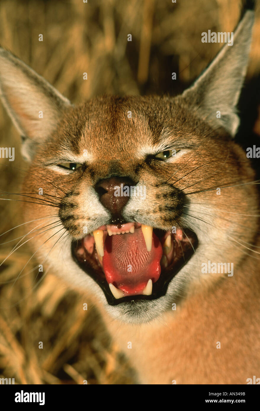 Caracal Felis caracal Snarling Africa to India - Stock Image