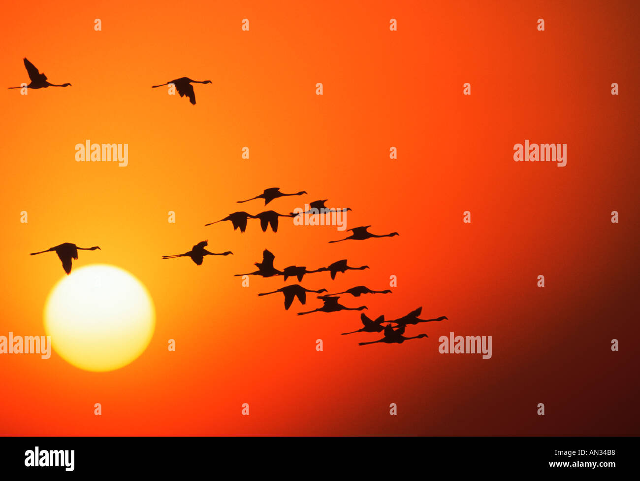 Greater Flamingo Phoenicopterus ruber In silhouette against sunset Are filter feeders of crustaceans algae Africa - Stock Image