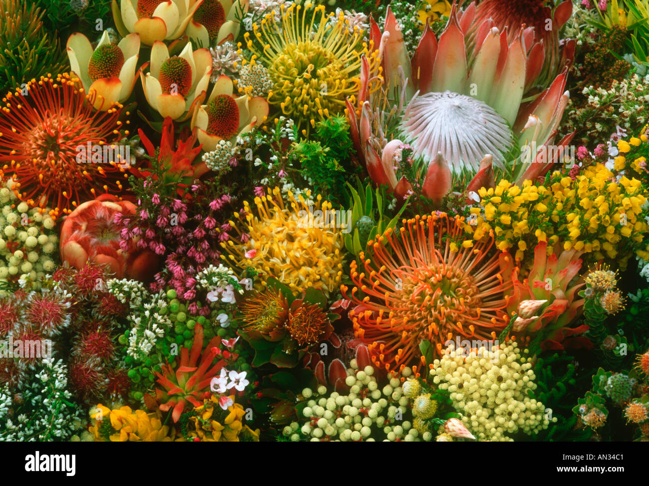 Proteas and pincushions Fynbos species Cape floral kingdom South Africa - Stock Image