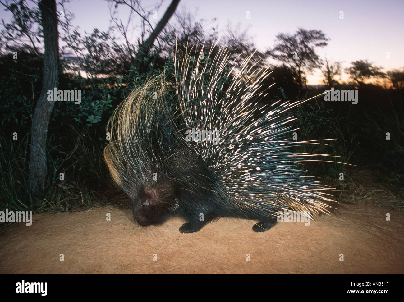 Porcupine Hystrix africaeaustralis Africa largest rodent Namibia Central East Southern Africa - Stock Image