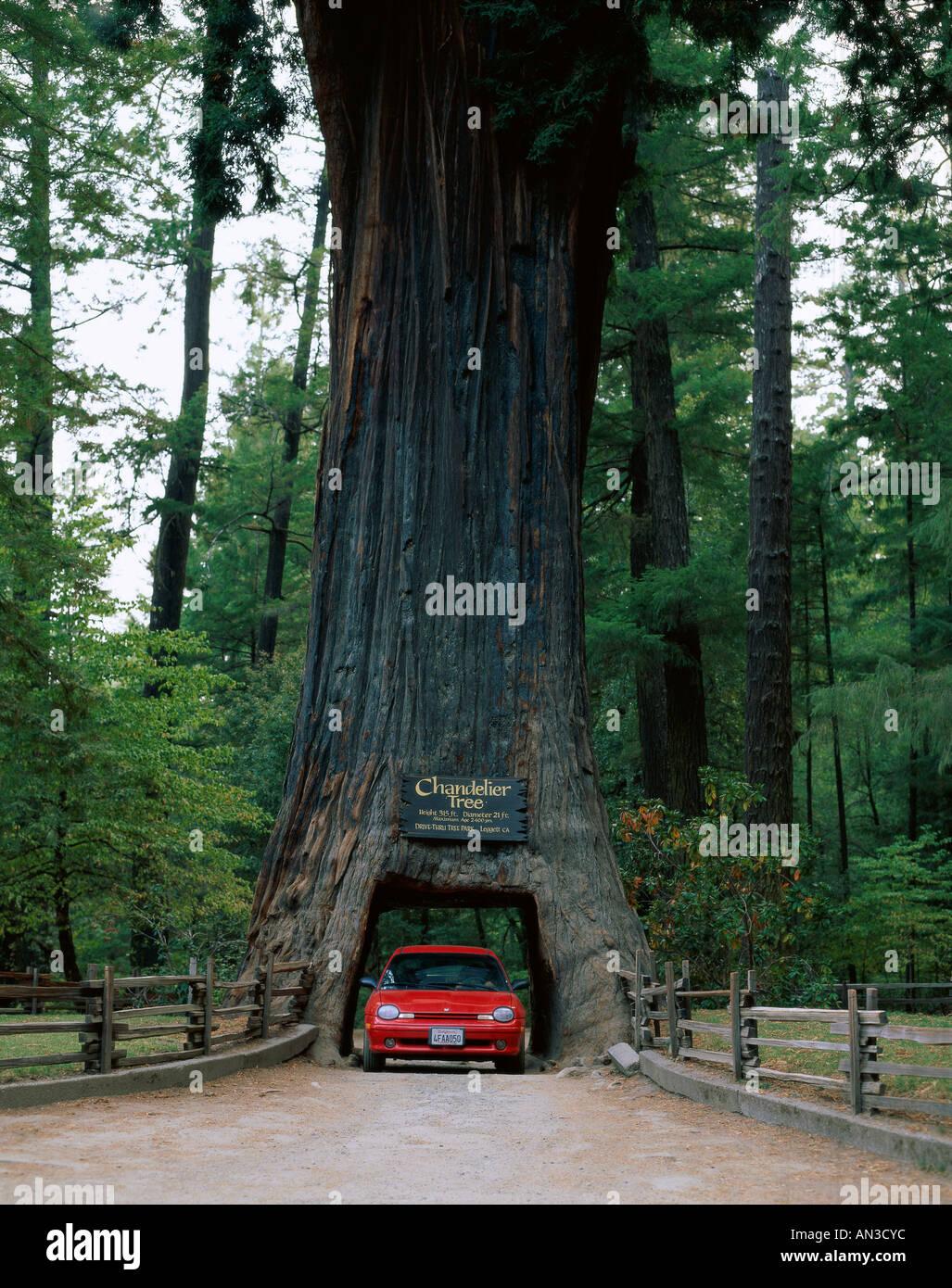 Drive thru tree stock photos drive thru tree stock images alamy drive thru tree chandelier redwood tree car driving through tree leggett california arubaitofo Images