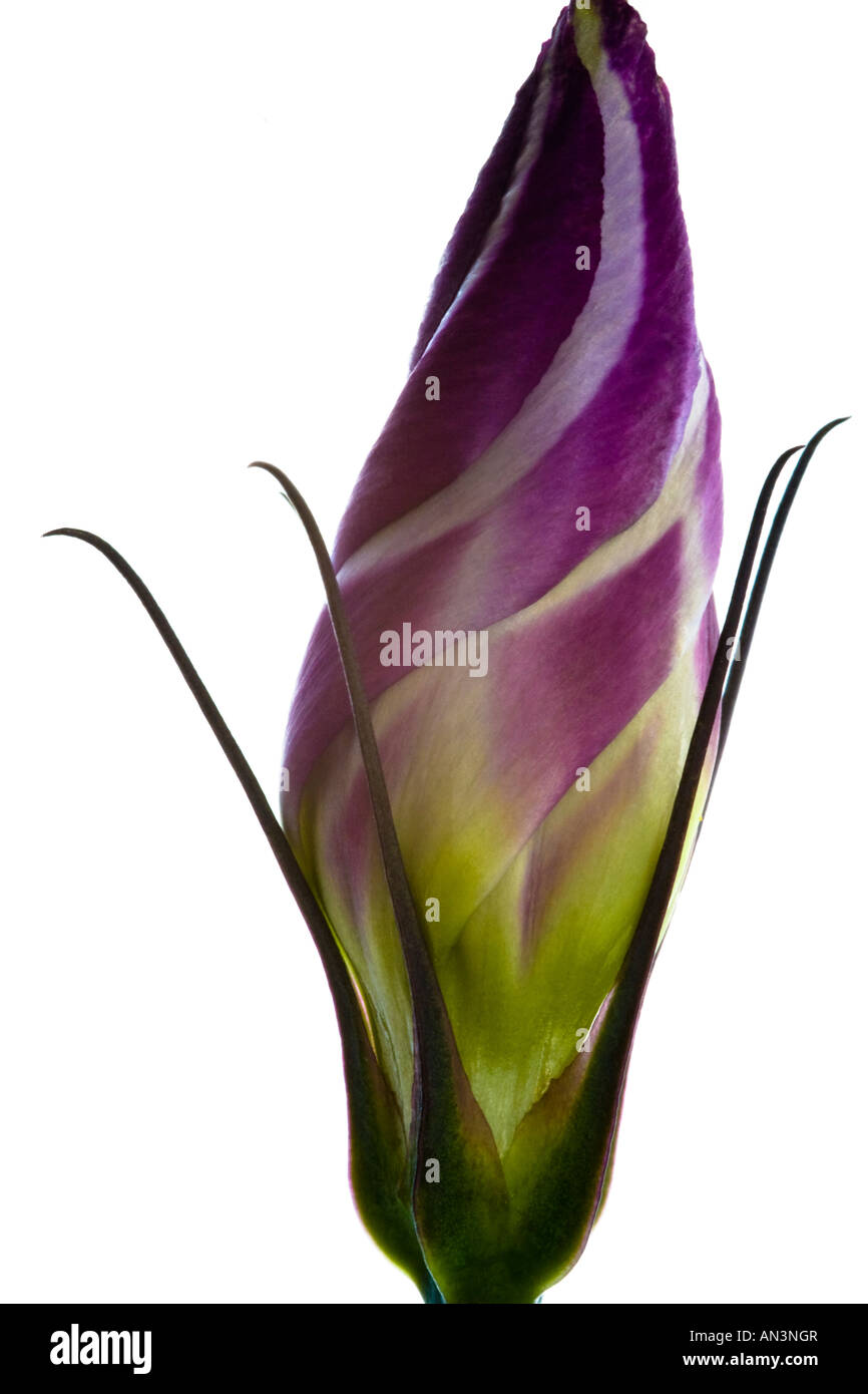 Abstract Portrait of a Purple Lisianthus Flower Bud on a White Background. - Stock Image