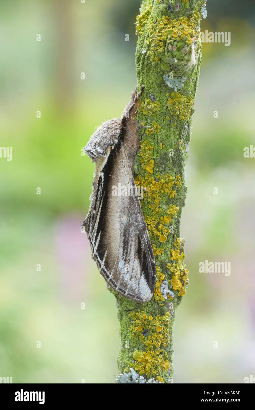 Swallow Prominent Moth Pheosia tremula Essex UK IN000732 - Stock Image