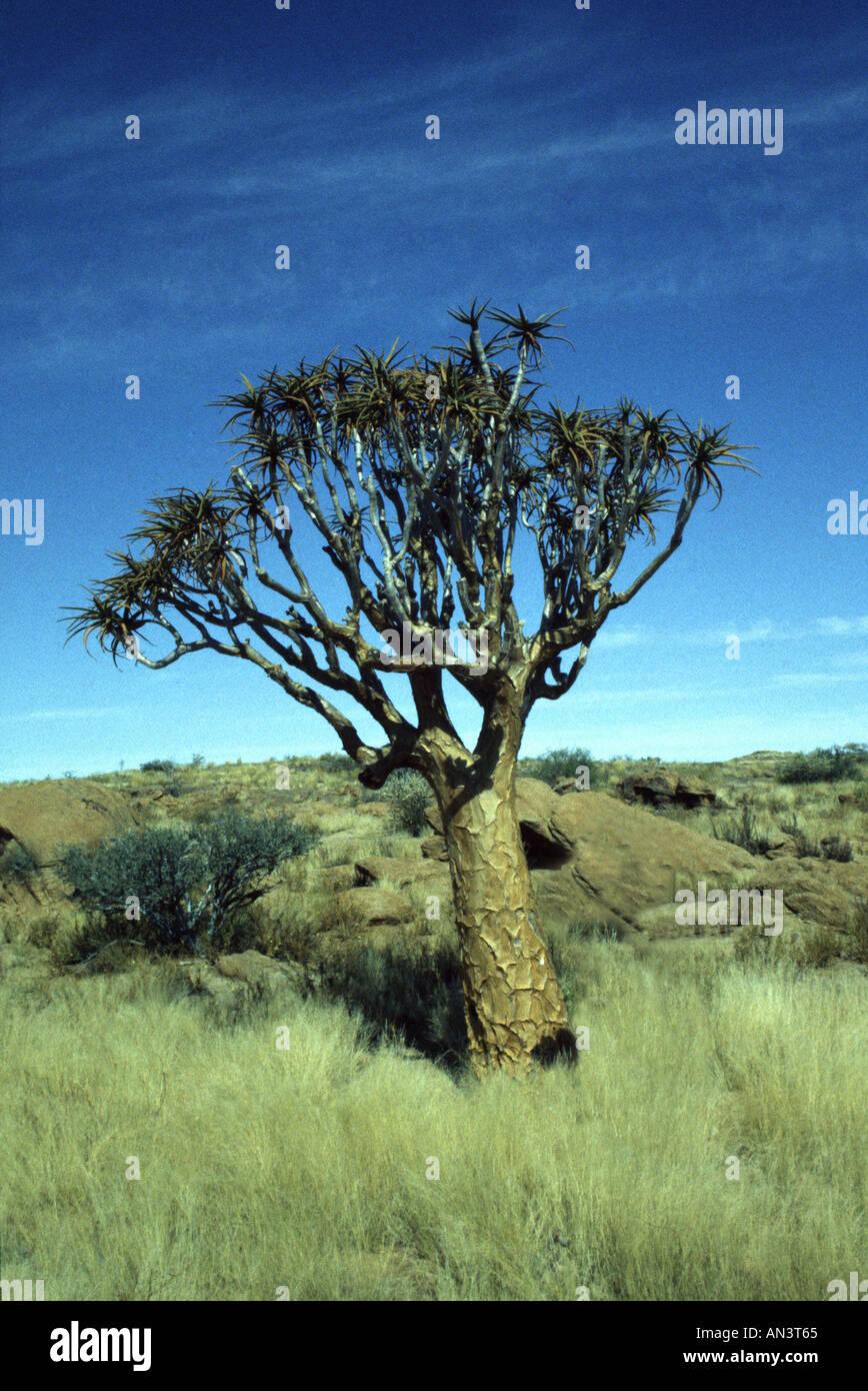 Aloe dichotoma - Stock Image