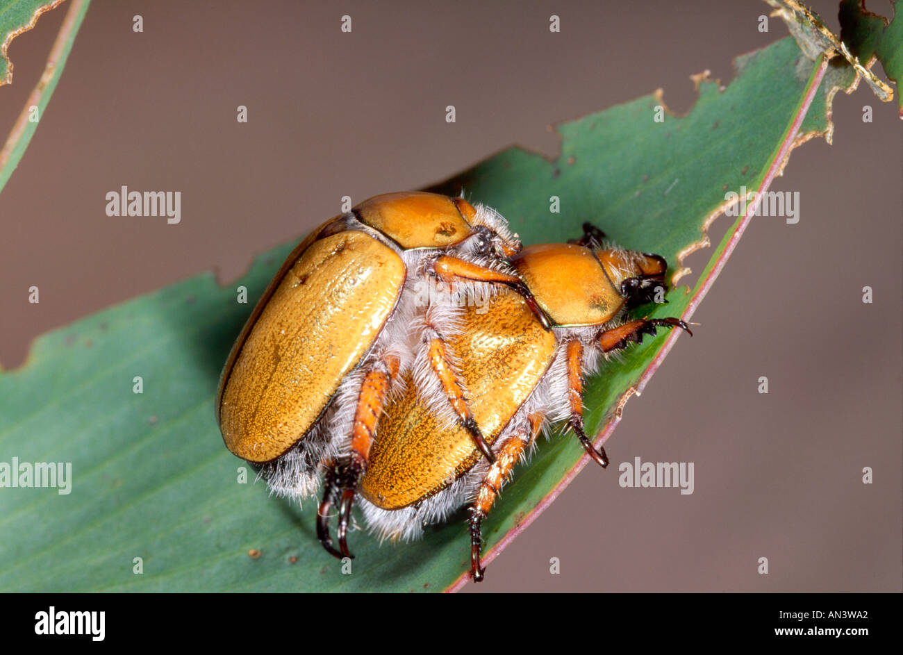 Australian Christmas Beetle.Mating Australian Christmas Beetles Stock Photo 5029281 Alamy