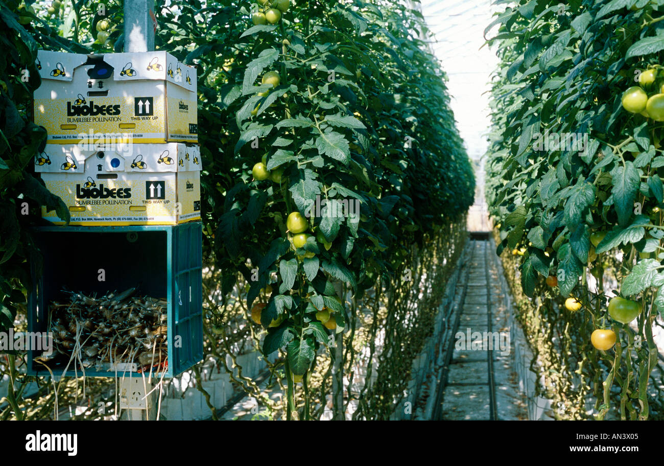 Bumblebee hive used to pollinate tomato greenhouse in New Zealand Stock Photo