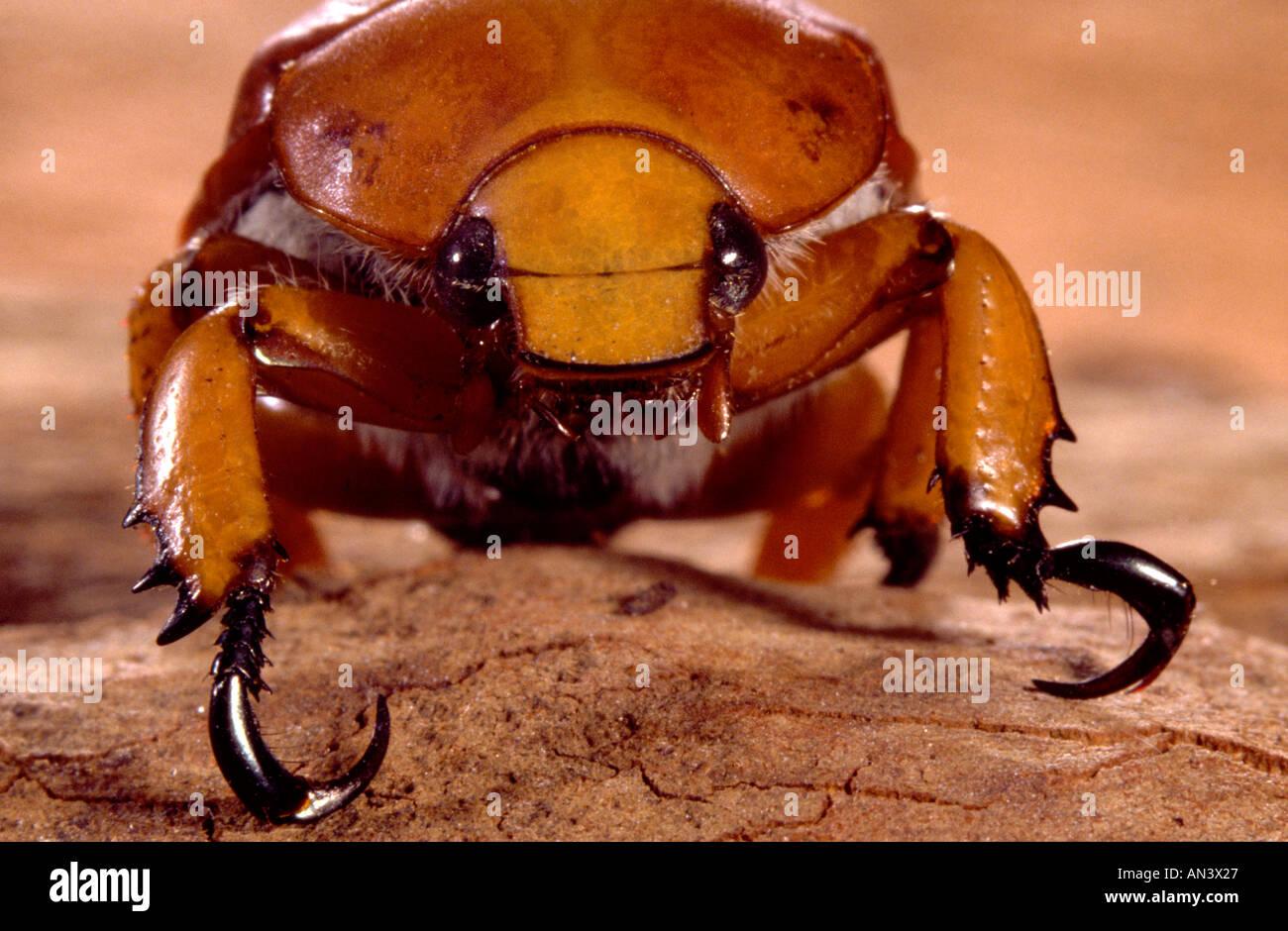 Australian Christmas Beetle.Australian Christmas Beetle Close Up Stock Photo 5029414