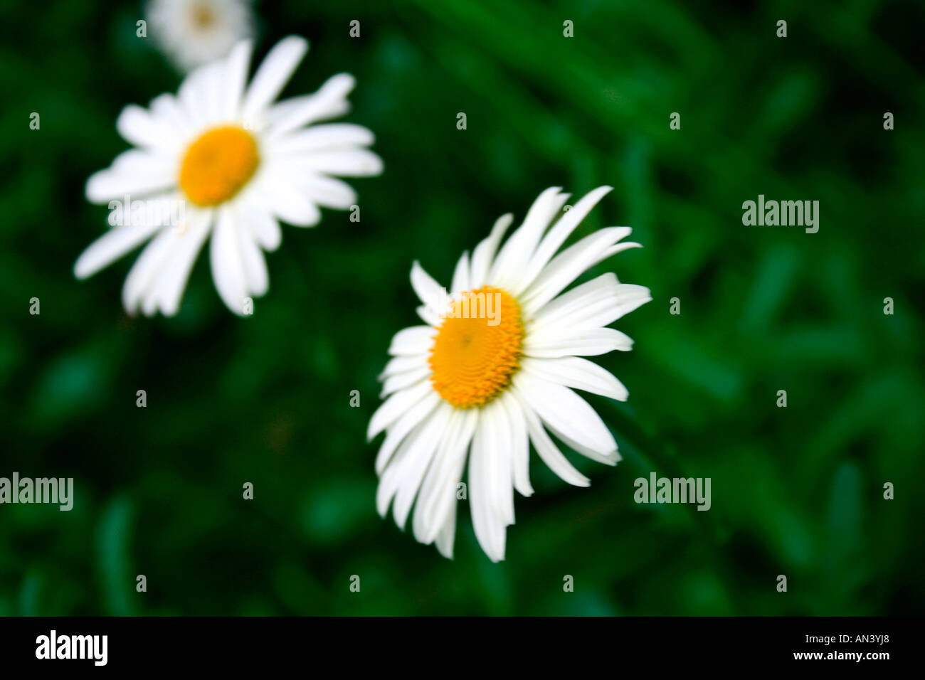 Pair White Flowers In Munnar Stock Photos Pair White Flowers In