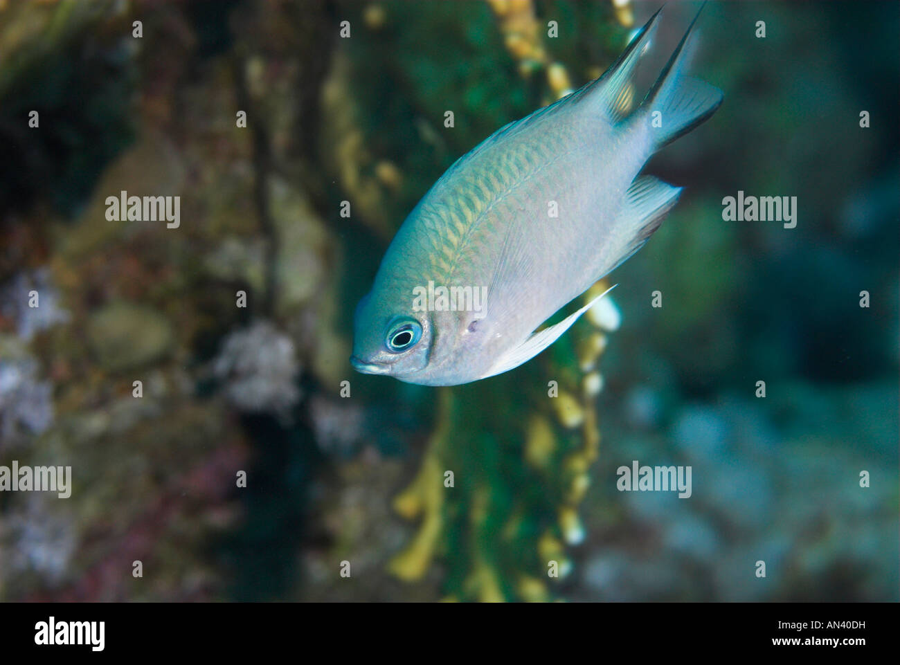 Bluegreen puller or damselfish fish Chromis viridis Red Sea - Stock Image