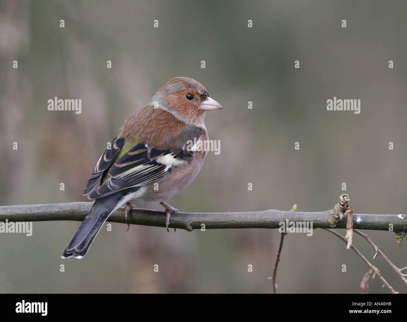 Chaffinch Fringilla coelebs Adult male perched on branch Leicestershire England - Stock Image