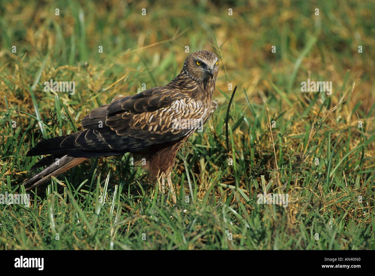 African Marsh Harrier Circus ranivorus On ground Ngorongoro - Stock Image