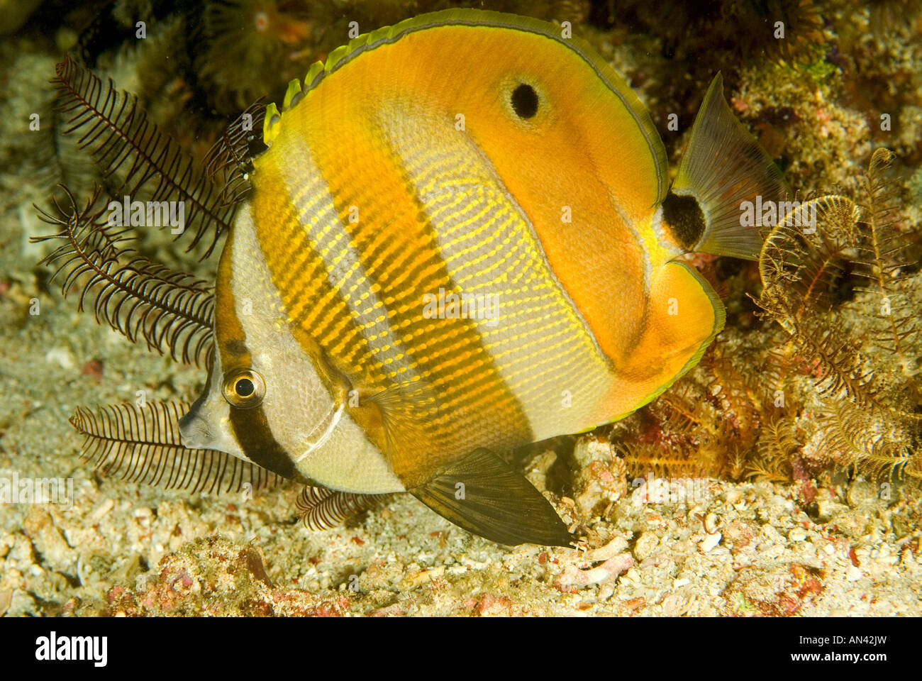 Orange banded butterflyfish Coradion chrysozonus Komodo National Park Indonesia - Stock Image