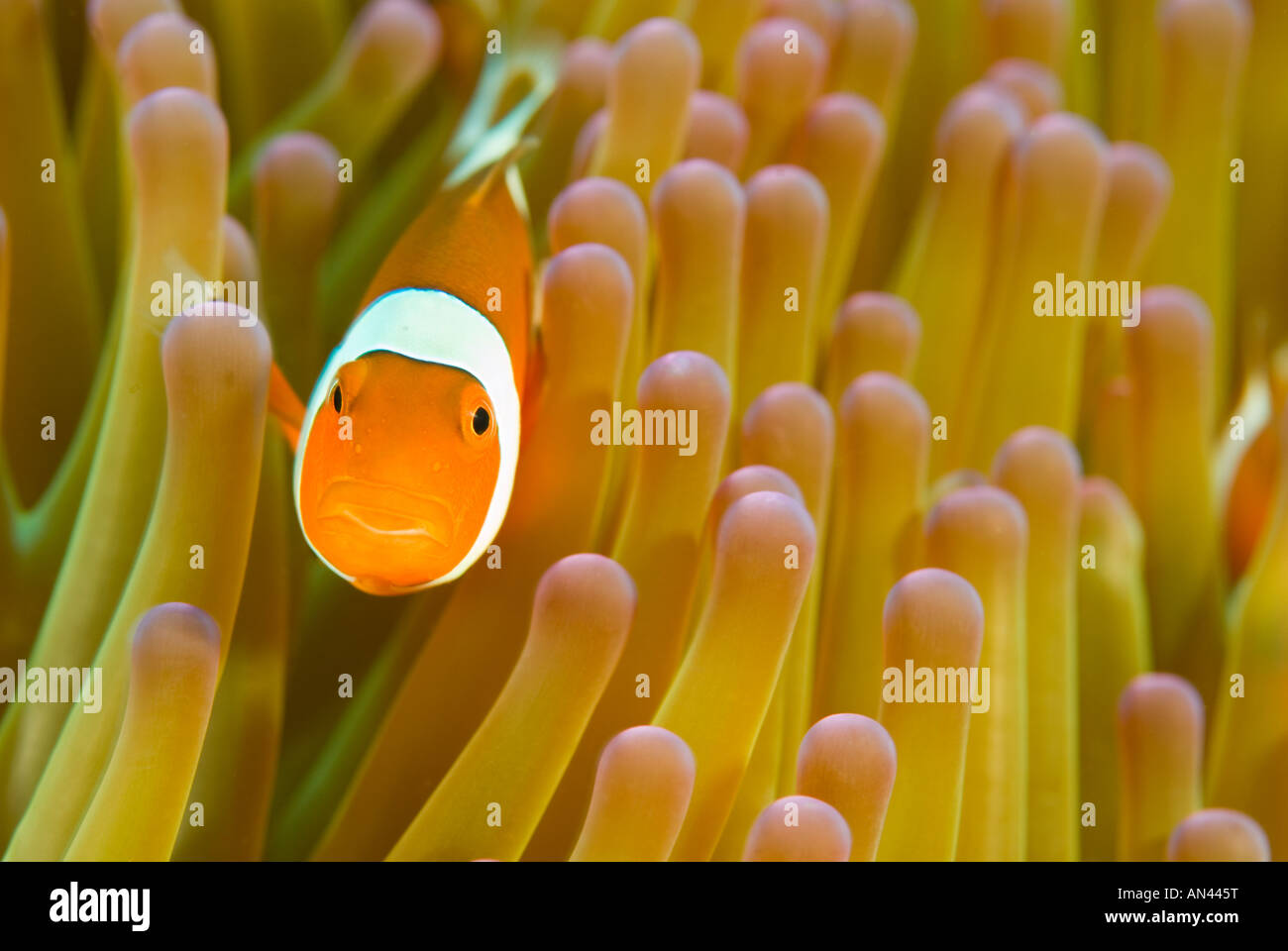 Clownfish Amphiprion ocellaris in a magnificient sea anemone Heteractis magnifica Komodo National Park Indonesia - Stock Image