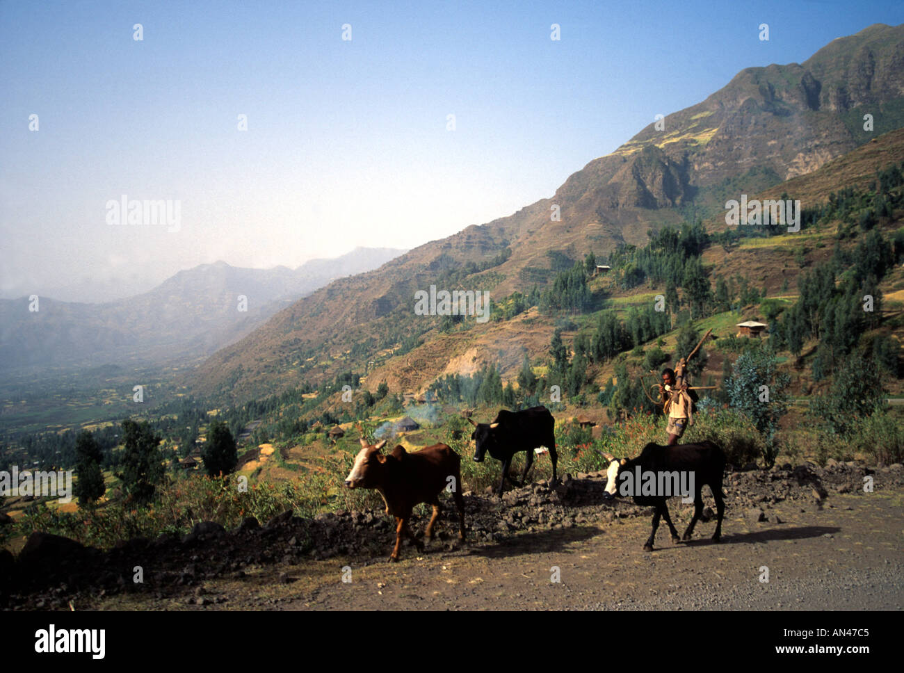Farmer with a plough and oxen Welo Province Ethiopia Africa - Stock Image