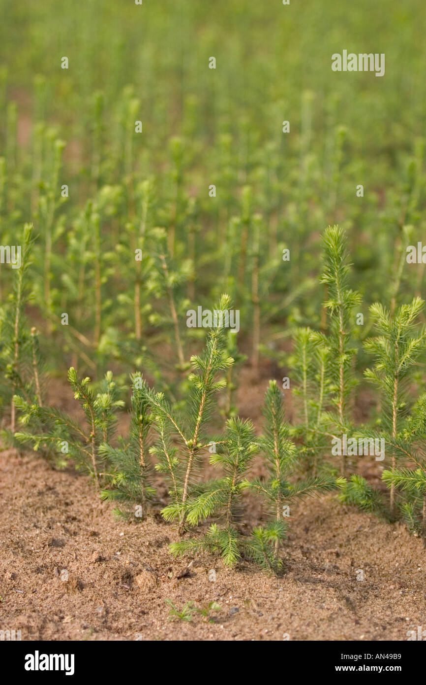 Spruce  ( picea abies ) saplings in nursery at Finnish National Forest Institute Stock Photo