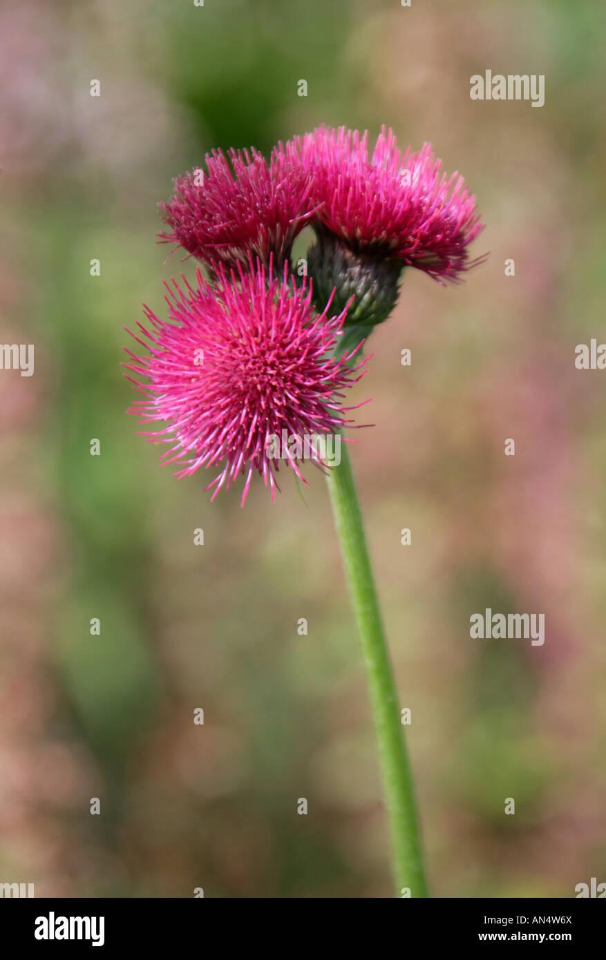 Thistle Cirsium rivulare Atropurpureum Asteraceae Compositae - Stock Image