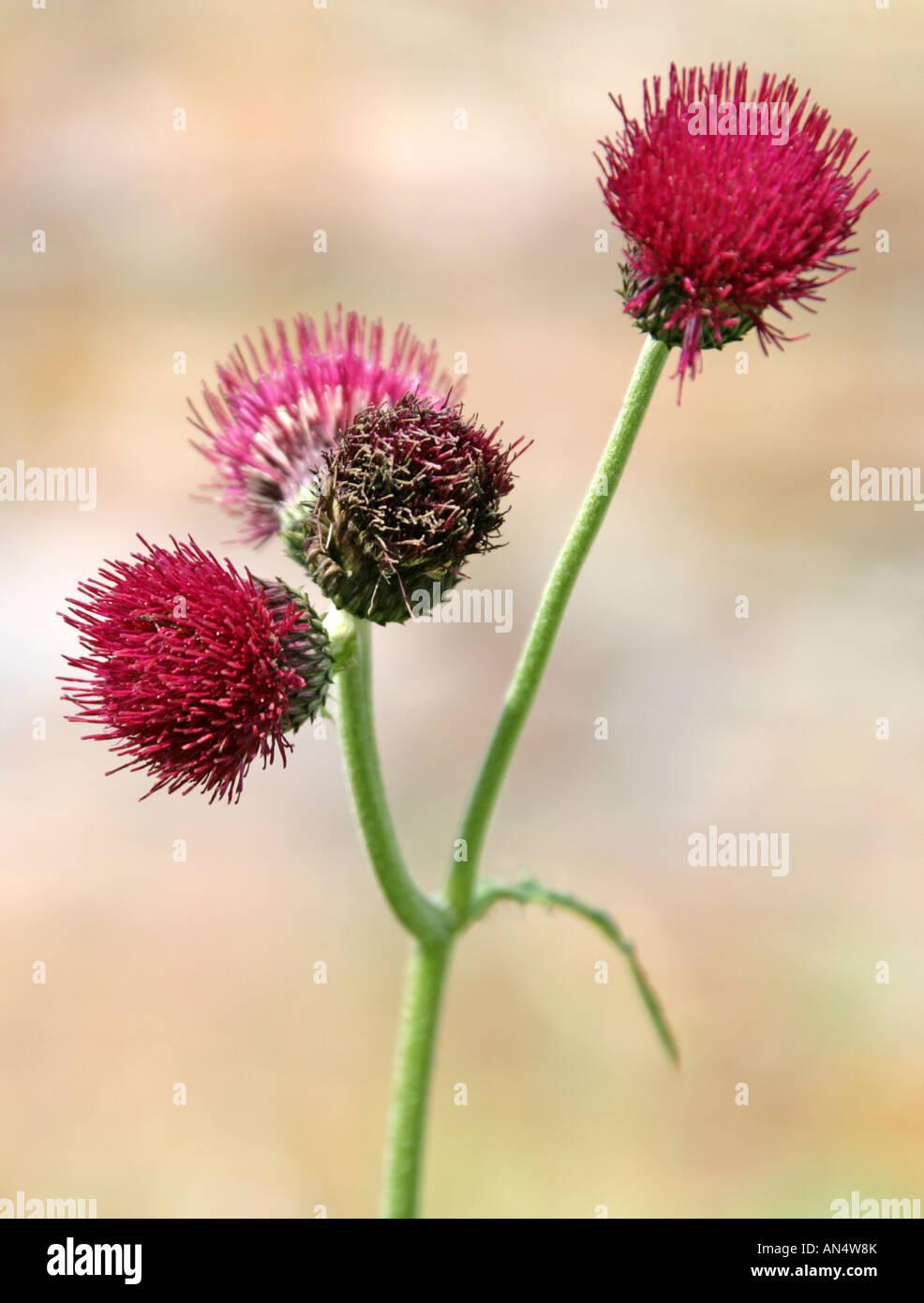 Thistle, Cirsium rivulare Atropurpureum - Stock Image
