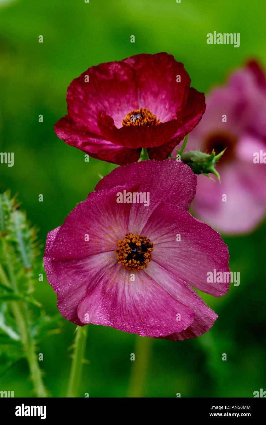 Rose Prickly poppy, Argemone sanguinea, Frio county, Texas grows on ...