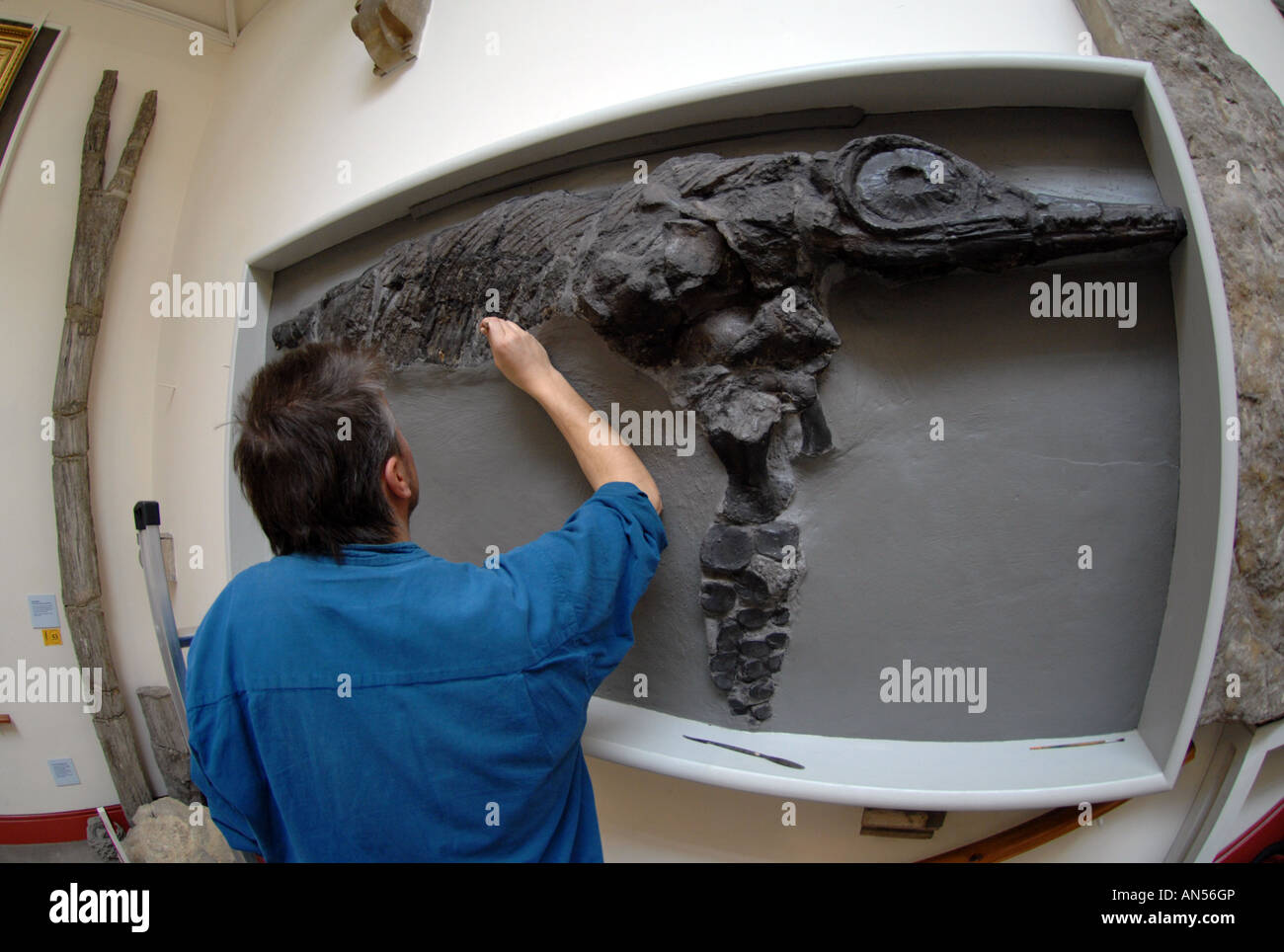 Specialist cleaning of a museum Ichthyosaur (Leptopterygius tenuirostris) dinosaur fossil - Stock Image