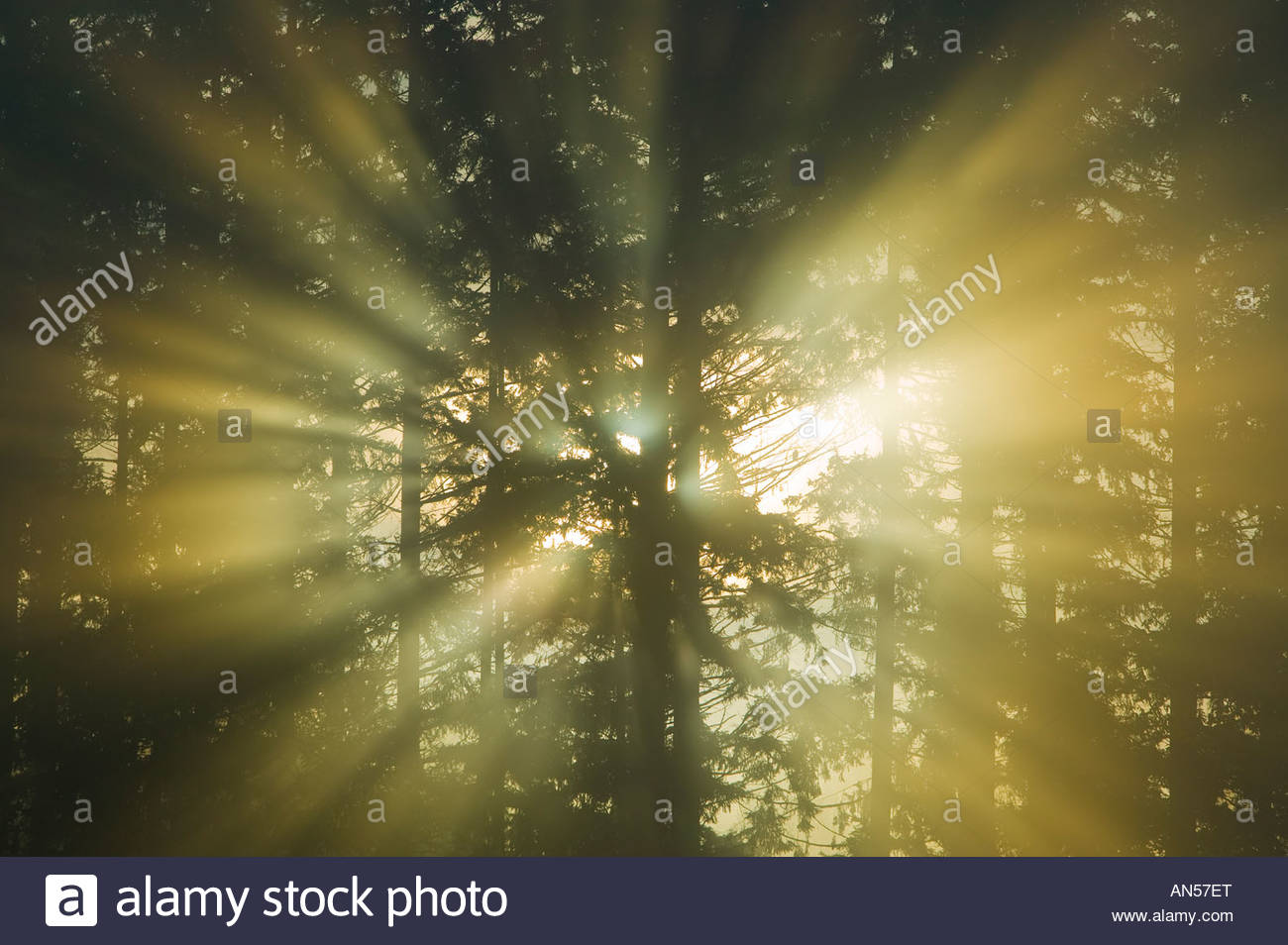 The sun's rays shine through trees into early morning fog, creating dramatic beams known as crepuscular rays. - Stock Image
