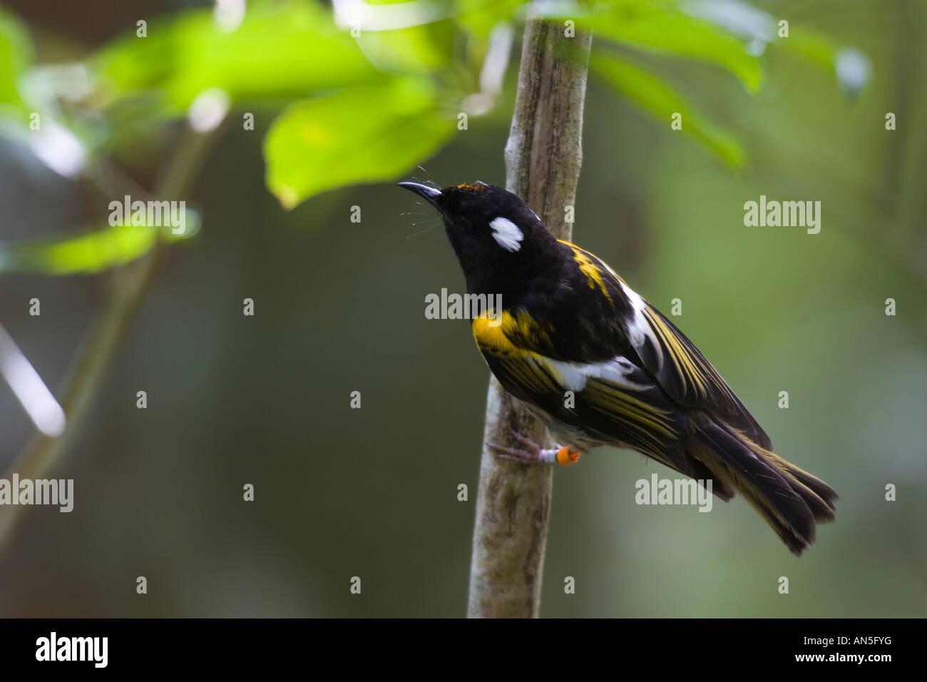 Male Stitchbird (Notiomystis cincta) - Stock Image