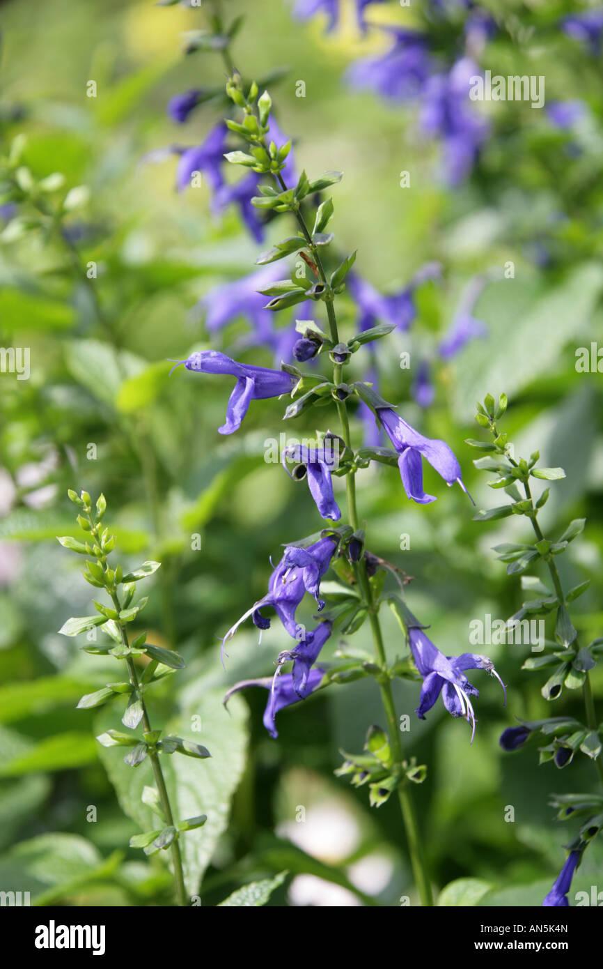 Blue Anise Sage aka Brazilian Sage, Hummingbird Sage, Anise Scented Sage or Giant Blue Sage Salvia guaranitica Blue Stock Photo
