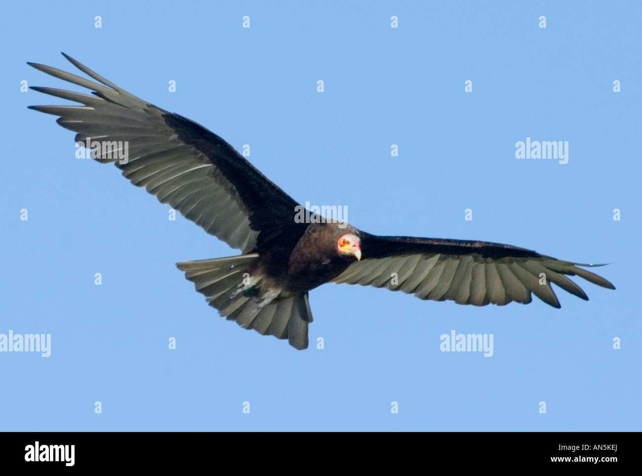 Lesser Yellow headed Vulture Cathartes burrovianus Stock Photo