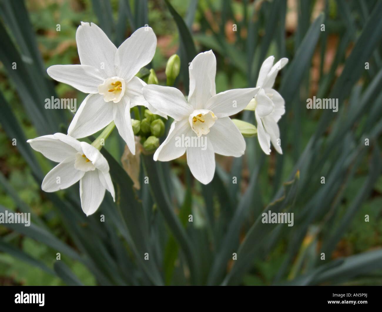 Paper White Narcissus flower Dudley Farm Historic State Park ...