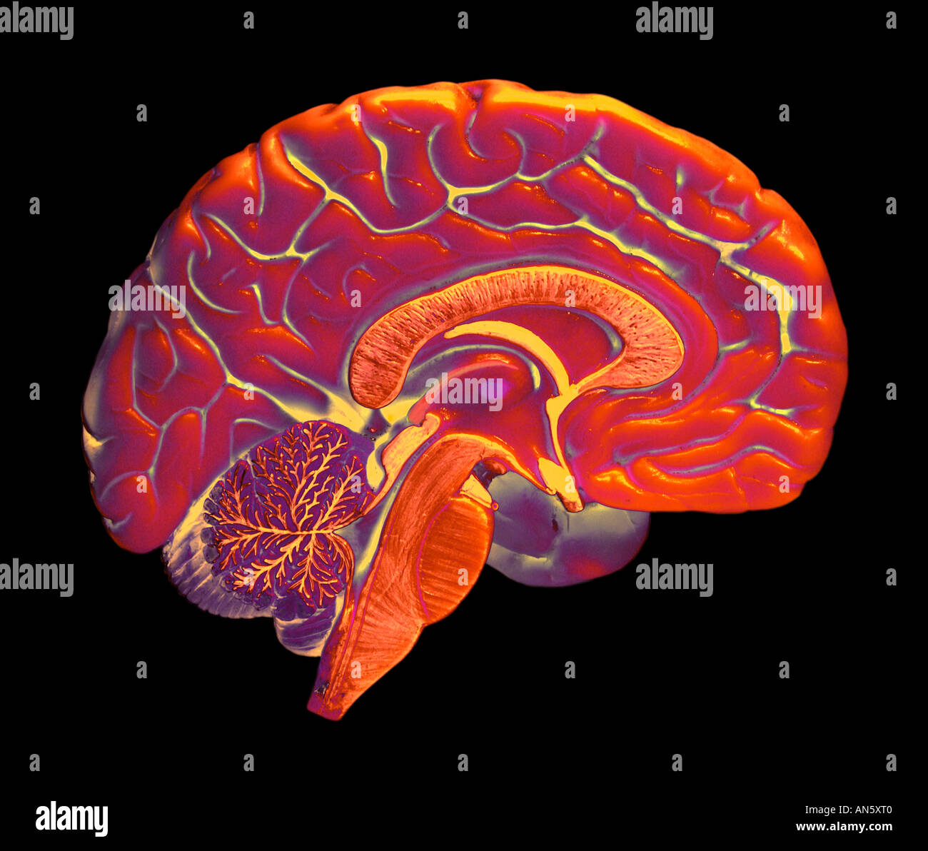 False colour image of left half of human brain on black background false colour image of left half of human brain on black background ccuart Images