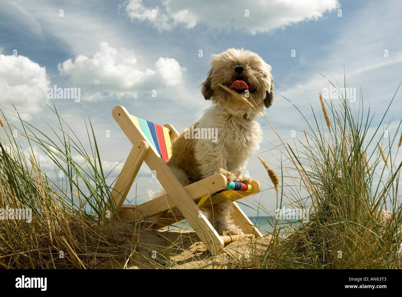 Toby Schitzu Shih Tzu dog in deckchair and sunglasses Camber Sands East Sussex Britain UK England - Stock Image