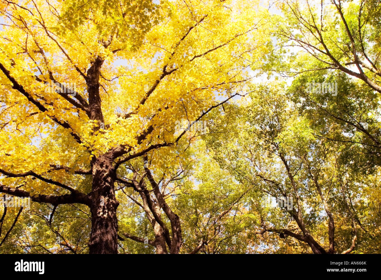 Trees with yellow and green leaves - Stock Image