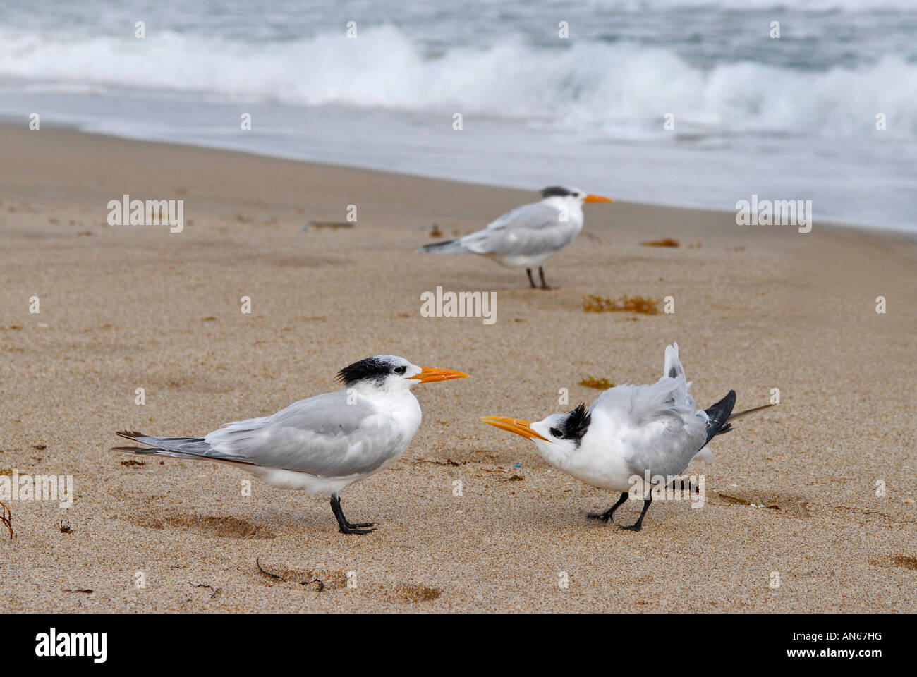 Two royal terns frolicking on the beach - Stock Image