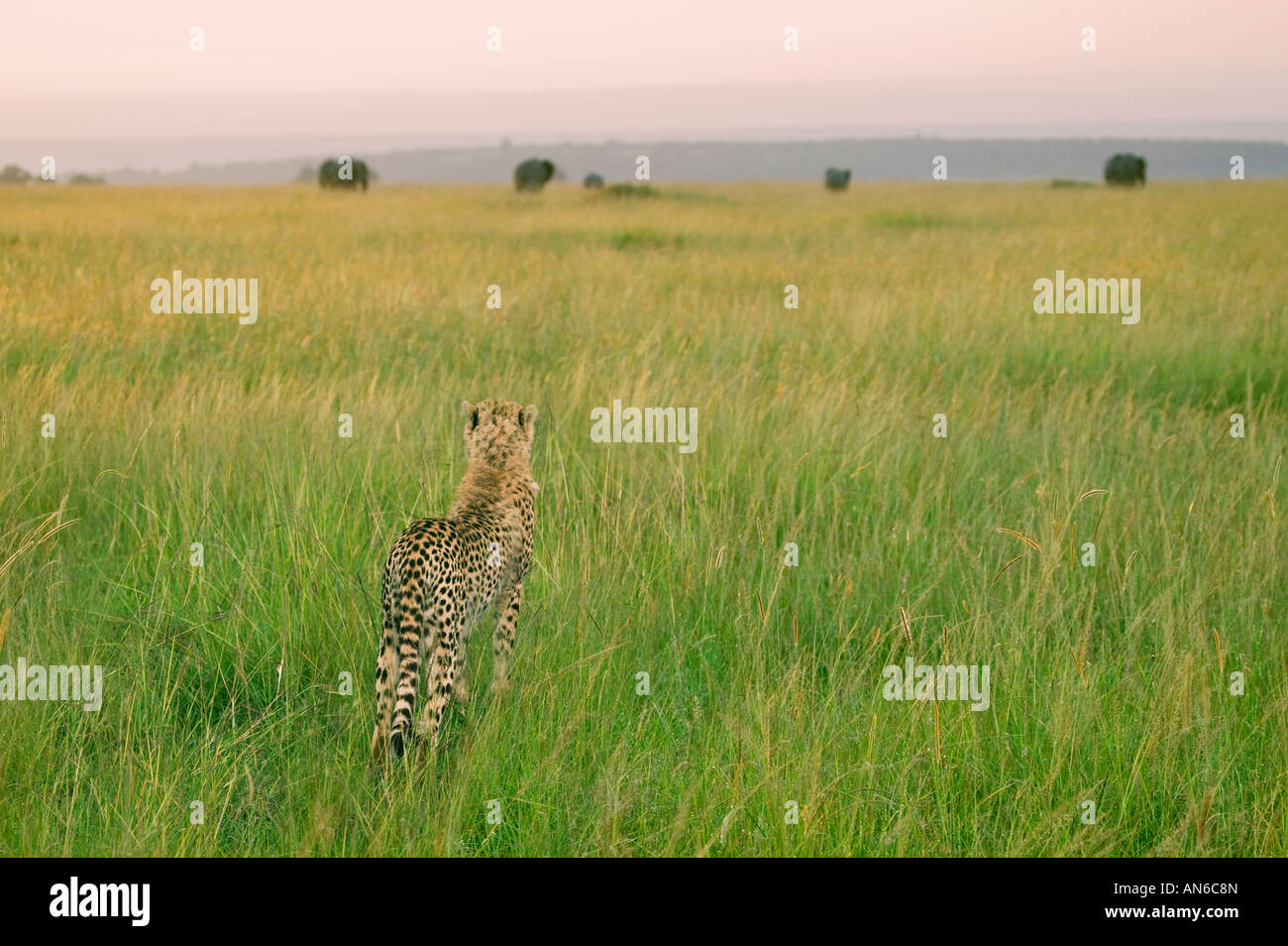 Cheetah (Acinonyx jubatus) on the savannah, Masai Mara, Kenya - Stock Image