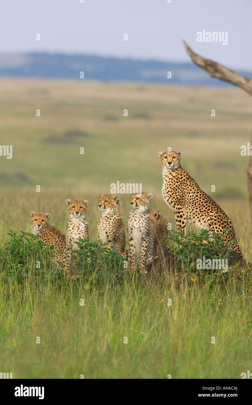 Cheetah (Acinonyx jubatus) mother with cubs, in the grass, Masai Mara, Kenya - Stock Image