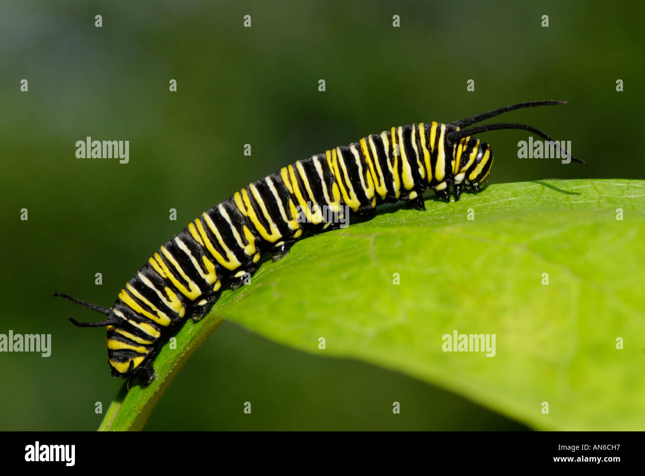 Monarch butterfly, Danaus plexippus, caterpillar on a milkweed, Asclepias sp., leaf - Stock Image