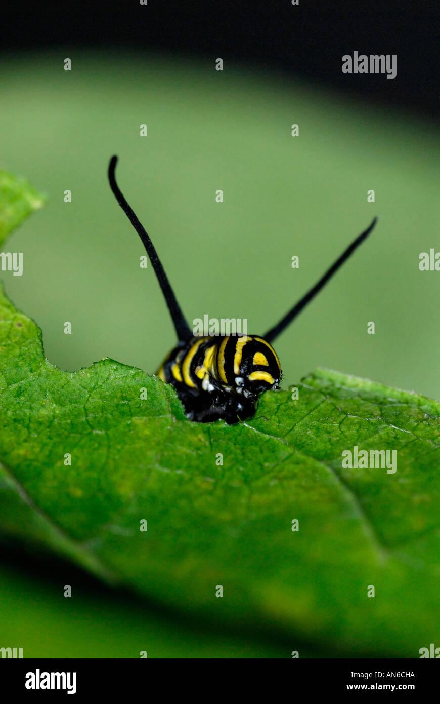 Monarch, Danaus plexippus, caterpillar eating a milkweed, Asclepias sp., leaf - Stock Image