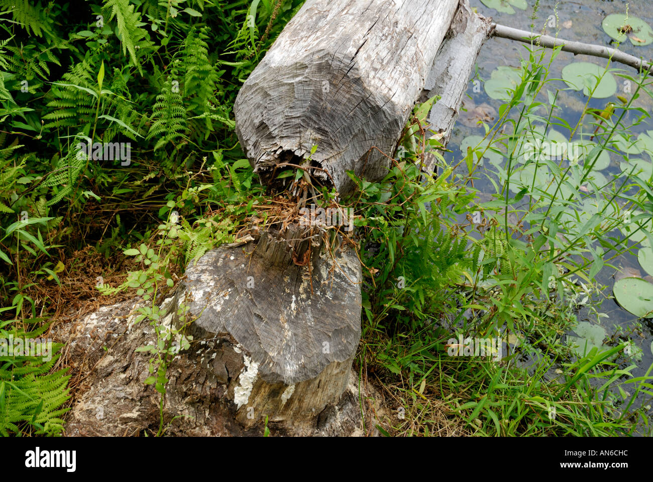 Tree cut down chewed by beaver, Castor canadensis Stock Photo