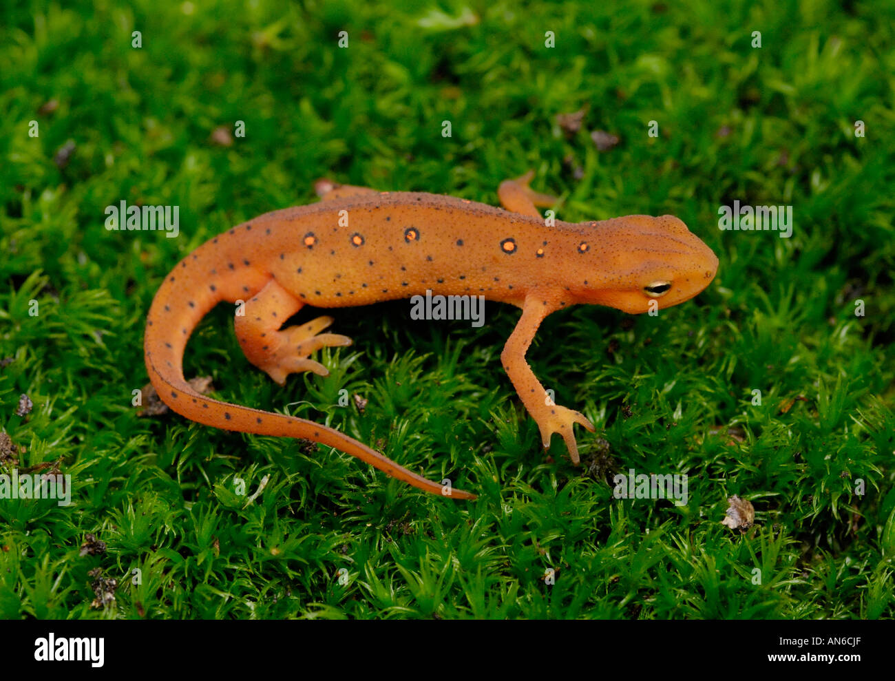 Eastern (or 'red-spotted') newt Notophthalmus viridescens juvenile in red eft stage - Stock Image