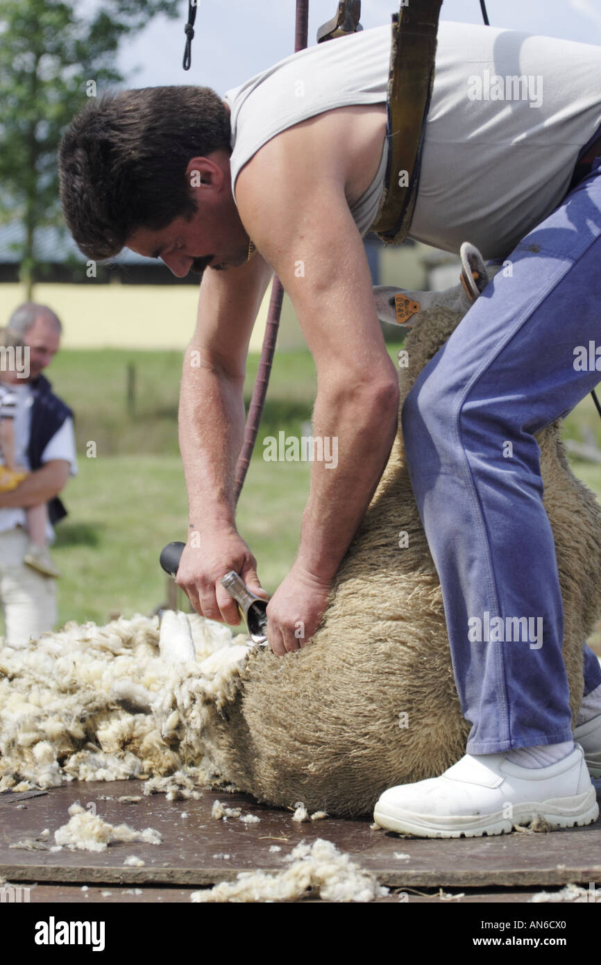 Man shearing a sheep whilst strapped into a harness from which he is
