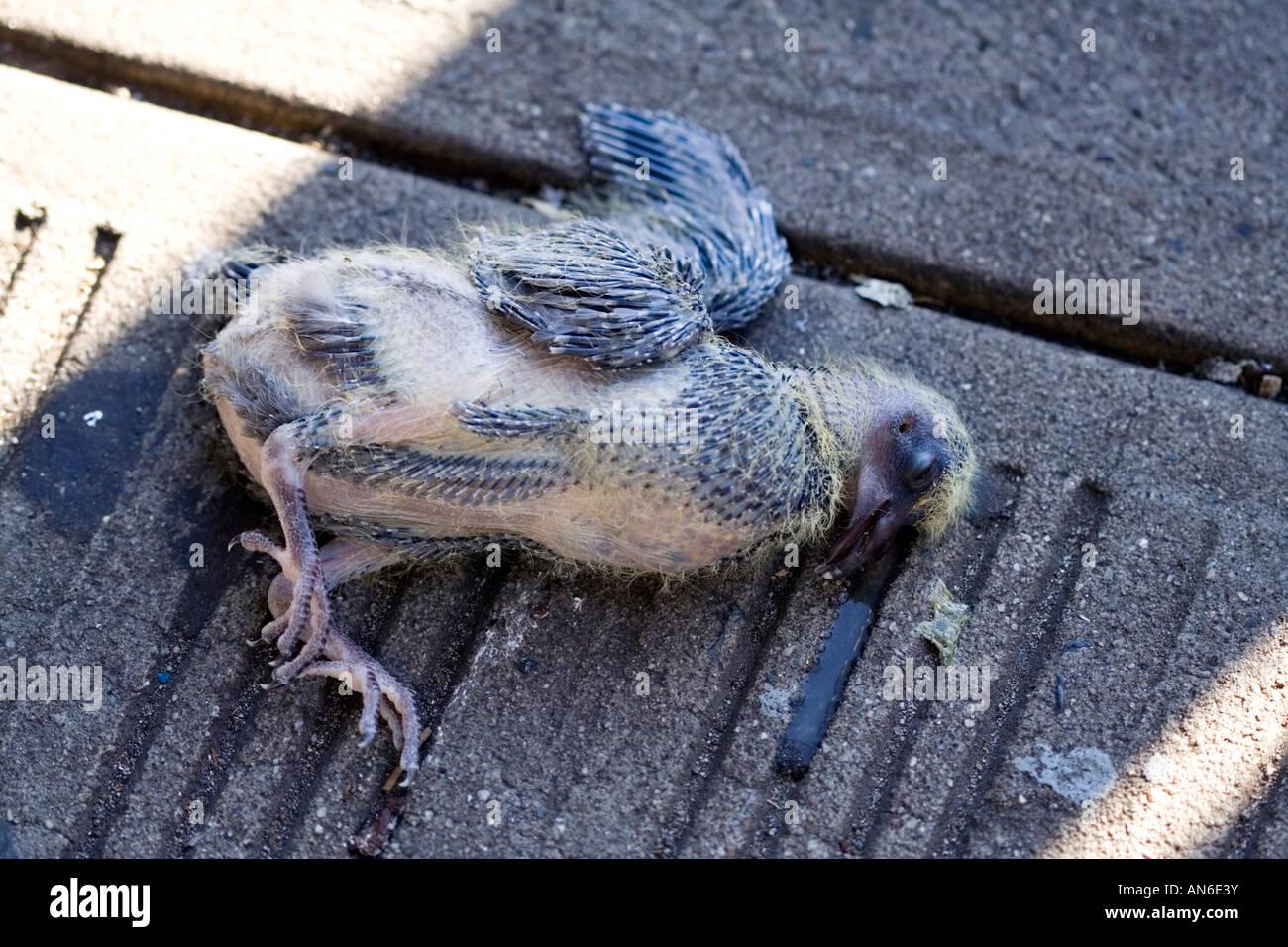 dead baby pigeon Stock Photo: 15427598 - Alamy