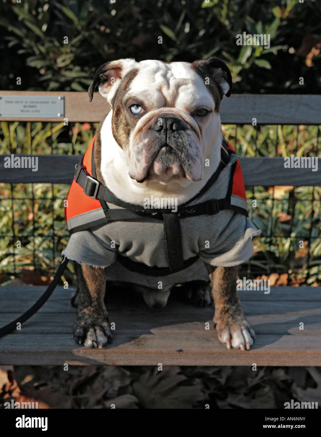 Bulldog takes a rest on park bench - Stock Image