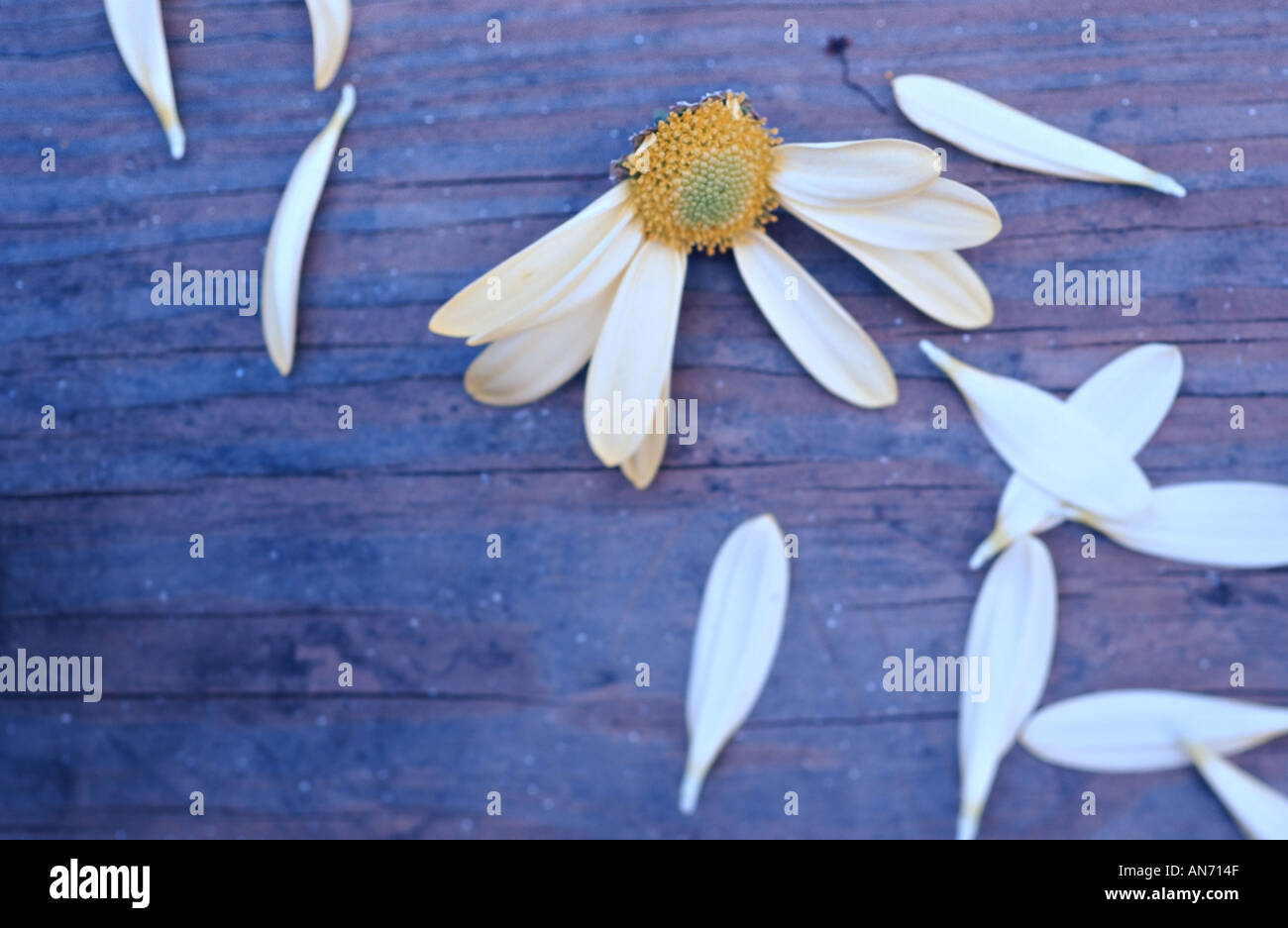 Flower petals torn off daisy on wooden table. 'He loves me, he loves me not' concept. - Stock Image