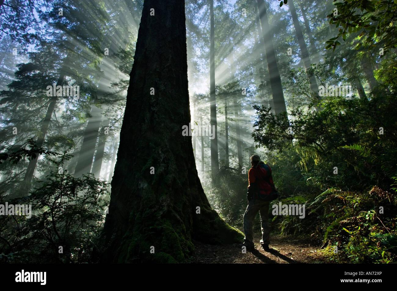 Woman hiking in mornig redwoods - Stock Image