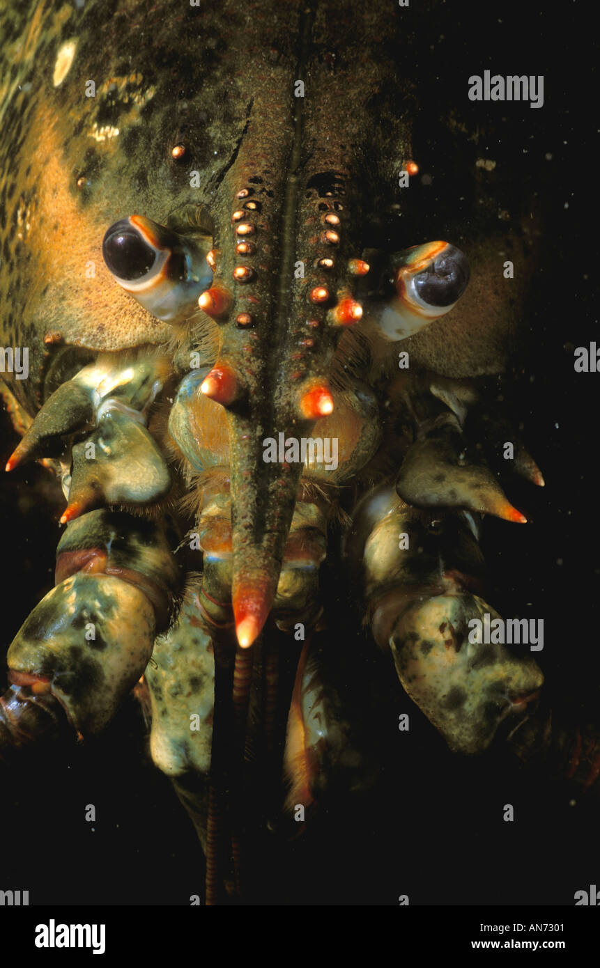 Close up of head eyes and rostrum of Northern Lobster - Stock Image