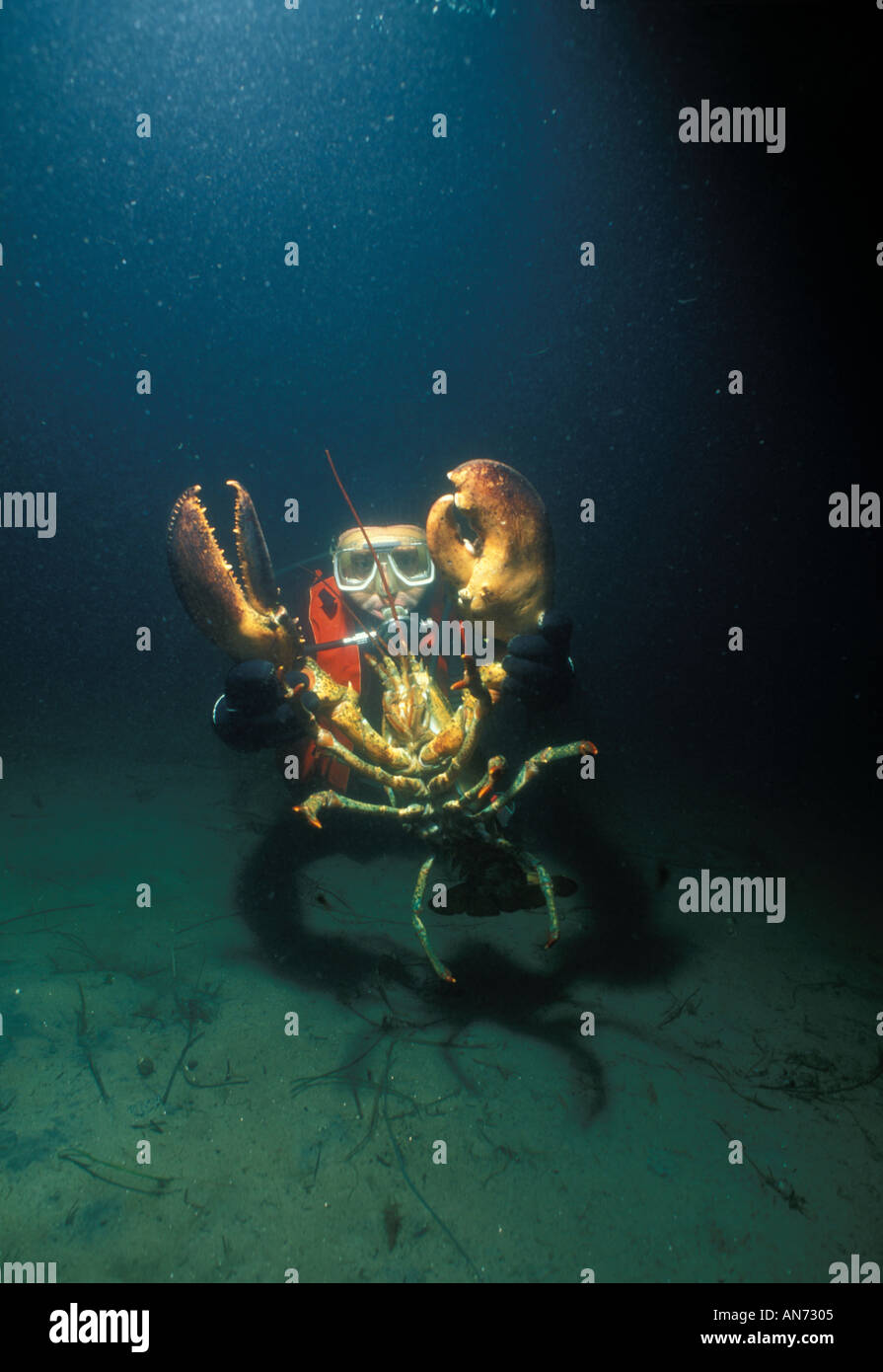 Diver holds Northern American Lobster - Stock Image