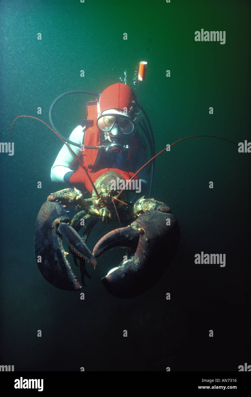 Diver holds 20 kilo Northern American Lobste - Stock Image