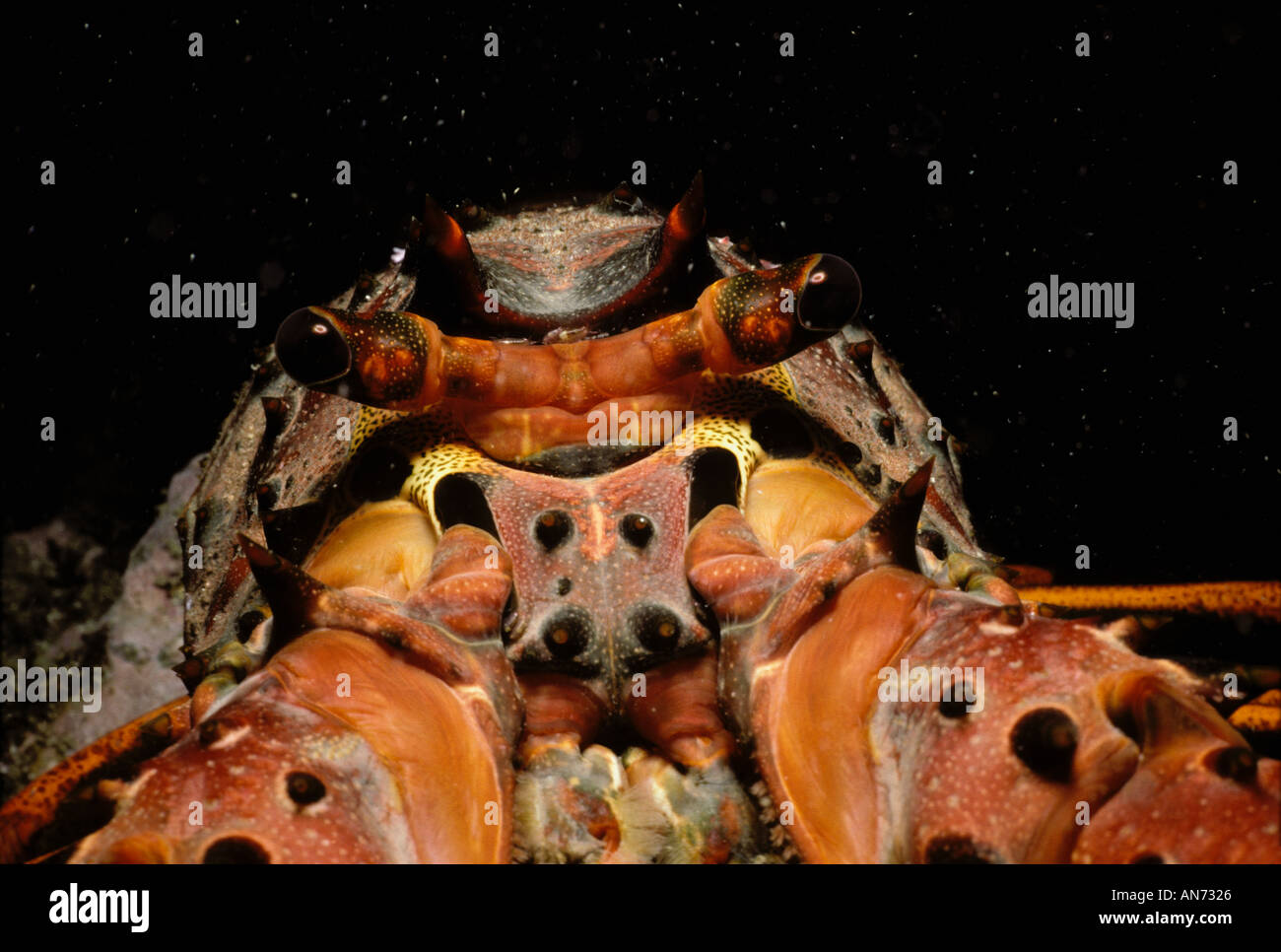 Head eyes and jointed legs of California Rock Lobster - Stock Image